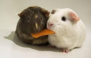 compartir hamsters